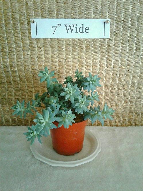 Trailing Succulent, Sedeveria Super Burro's Tail #1 | Potted Plant