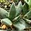 Succulent Plant, Gasteria Nigricans (Young Plant)