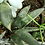 Thumbnail: Succulent Plant, Gasteria Nigricans