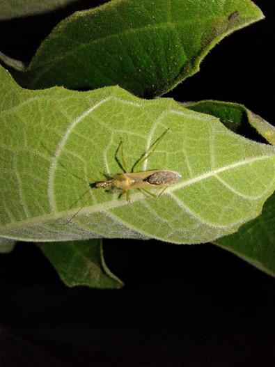 Assassin Bug on Fig Tree