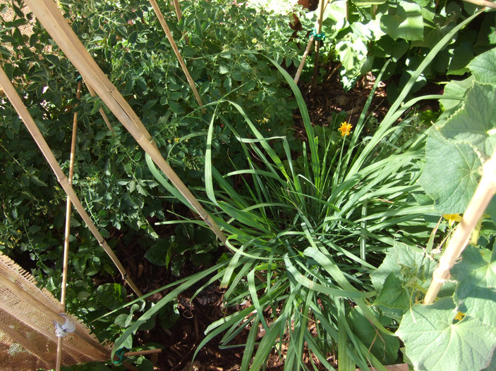 Lemongrass, Tomatoes, and Red Malabar Spinach