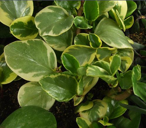 Succulent Plant, Peperomia 'Golden Gate'
