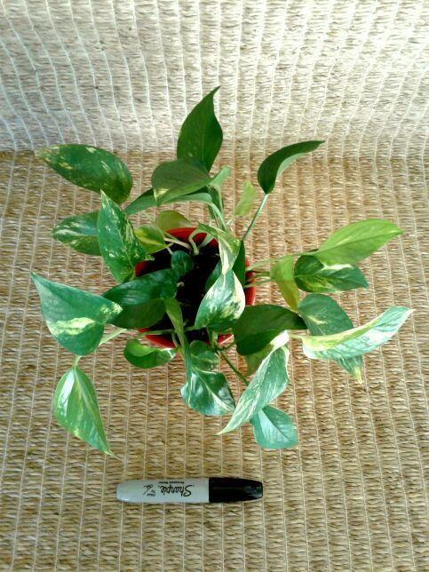 Pothos Ivy Vine #2 in 5-inch Orange-Red Planter | Potted Plant