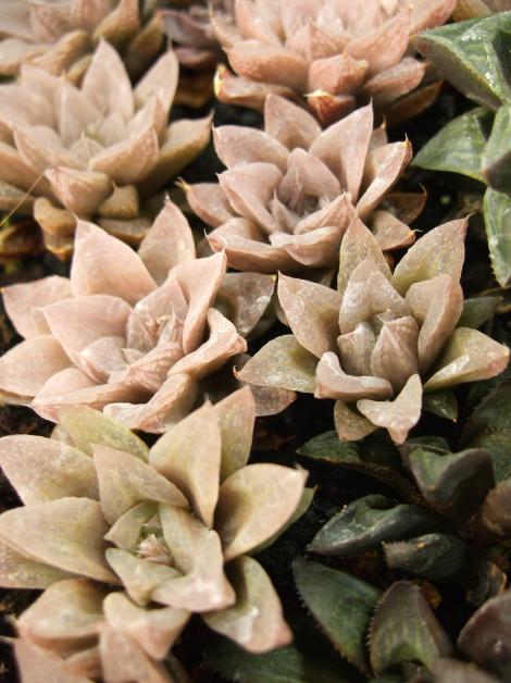 Haworthia turgida suberecta