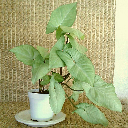"Tropical Arrowhead Vine aka Syngonium Podophyllum in 4"" Plastic | NW Phoenix, AZ"