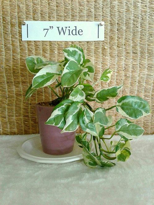 Tropical Plant, Epipremnum Aureu Pothos n Joy Ivy