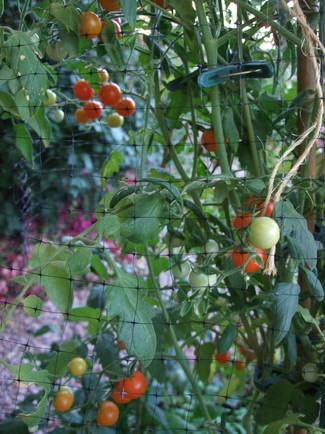 Cherry Tomatoes 2b