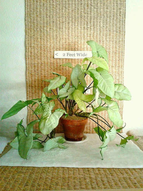 Tropical Arrowhead Vine in Clay Pot | Potted Plant