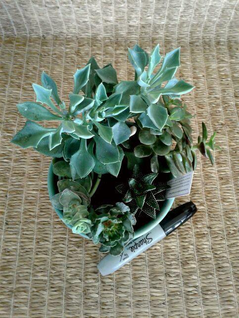 Succulent Garden in Teal Bowl #2 | NW Phoenix, AZ
