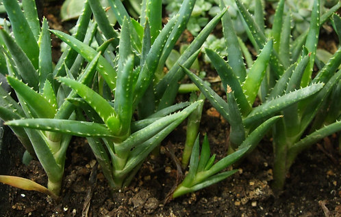 Succulent Plant, Aloe 'Crosby's Prolific' Offsets