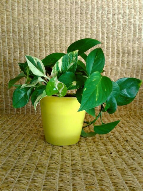 Pothos Ivy Vine #4 in 5-inch Chartreuse Planter | Potted Plant