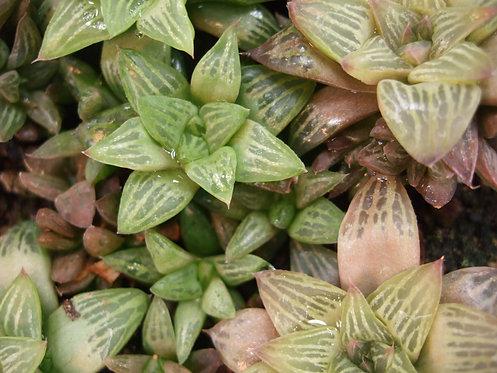Succulent Plant, Haworthia Turgida