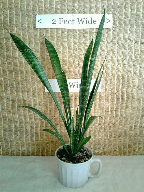 Tropical Plant, Sansevieria (aka Snake Plant) Trifasciata