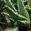 Succulent Plant, Aloe Aculeata Crousiana (Younger Linear Plant)