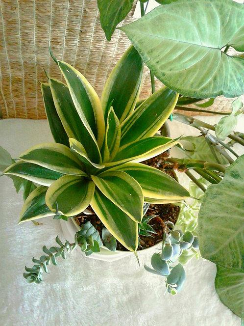 Tropical Plant, Sansevieria (aka Snake Plant) Trifasciata Golden Hahnii