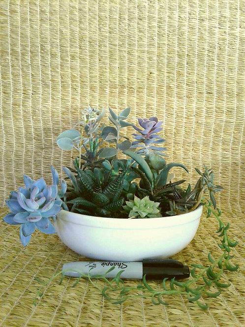 Succulent Plant, Pachyveria 'Royal Flush'