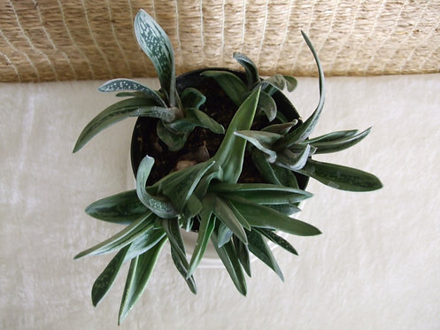 Succulent Plant, Gasteraloe 'Green Ghost' C (Top View)