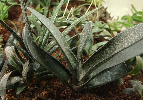 Succulent Plant, Gasteria Brachyphylla (Mature Plant)
