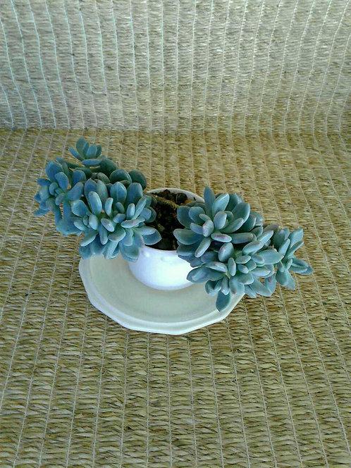 Succulent Plant, Pachyveria 'Powder Puff Exotica'