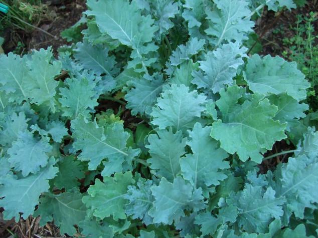 Kale Type 3