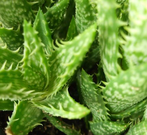 Succulent Plant, Aloe Juvenna