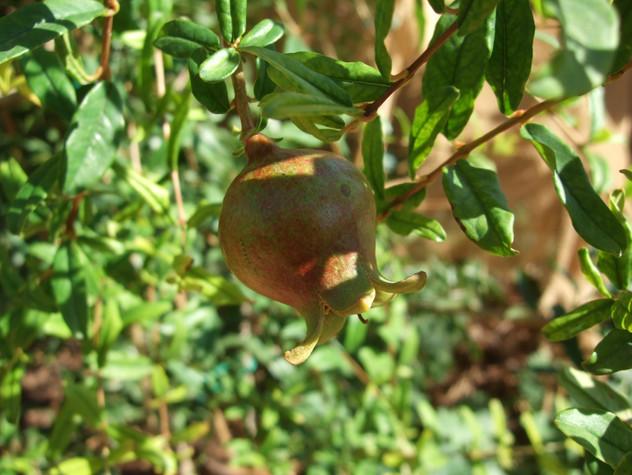 My First Pomegranate