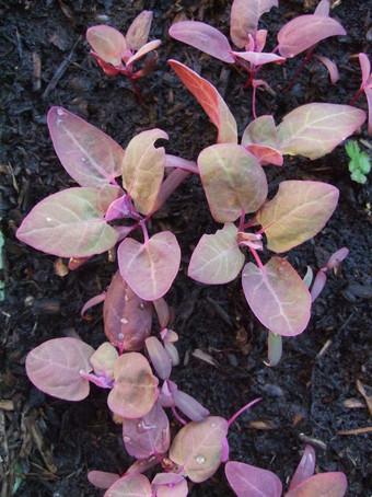 Purple Leaves for Salad