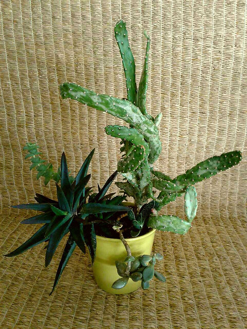 "Black Gem Aloe And Cactus In 5"" Chartreuse Planter 