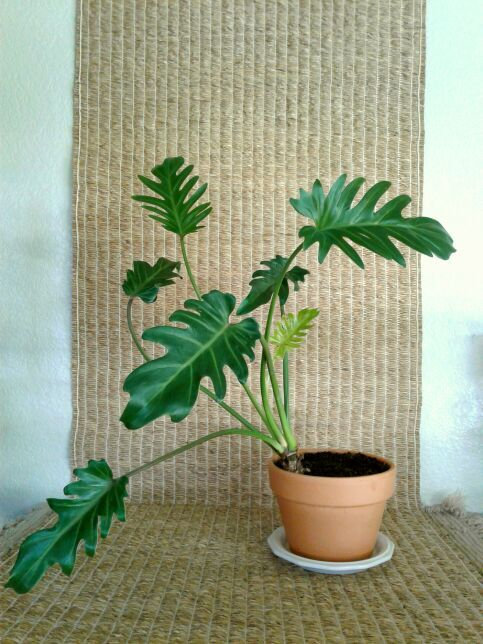 "Tropical Plant Philodendron Xanadu in 6.25"" Terracotta Planter 