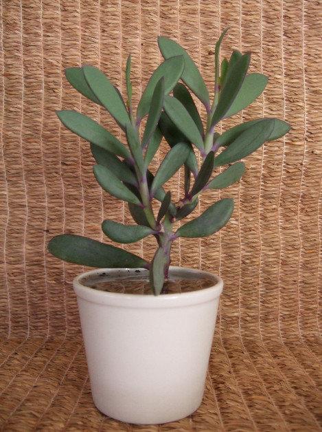 Senecio crassissimus vertical leaf #1
