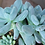 Thumbnail: Succulent Plant, Pachyveria 'Powder Puff Exotica'