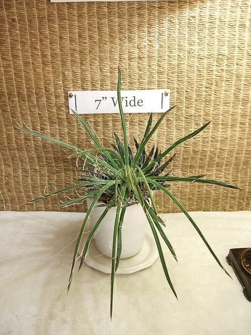 Succulent Plant, Agave Leopoldii Hybrid 3