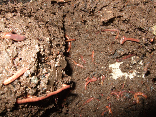 Worm Castings Make Great Fertilizer, and Worms are Easier and Cheaper to Raise than Cows and Chickens