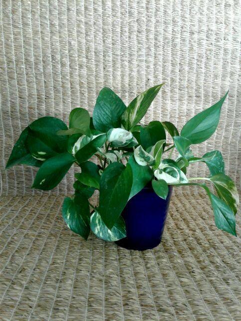 Pothos Ivy Vine #5 in 5-inch Dark Blue Planter | Potted Plant