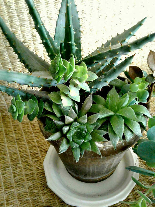 Succulent Plants In Chocolate Terra Cotta #2 | NW Phoenix