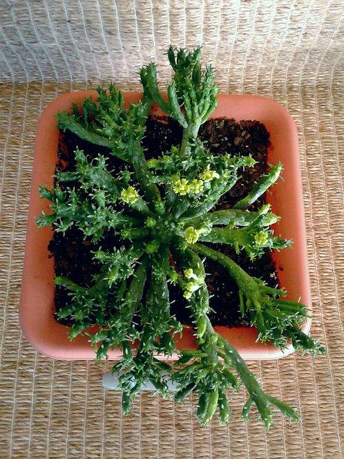 Succulent Euphorbia Muirii in Terra Cotta Colored Plastic Pot