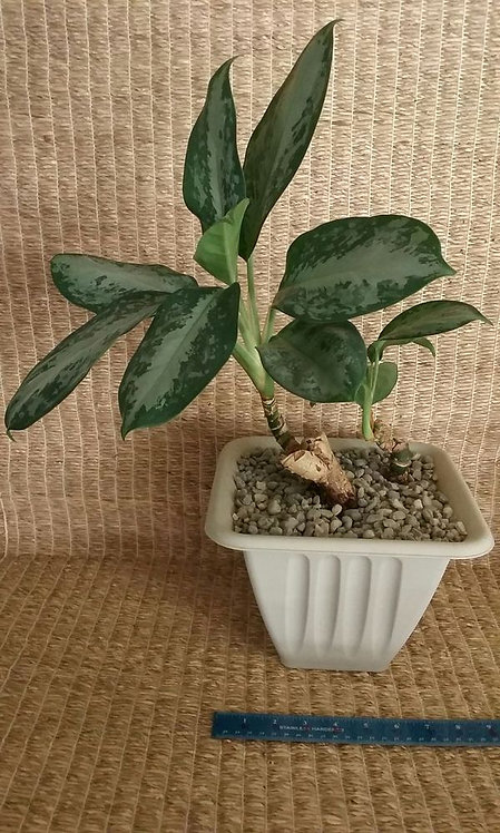 Tropical Plant, Chinese Evergreen with Wide Leaves in Plastic Pot | Potted Plant