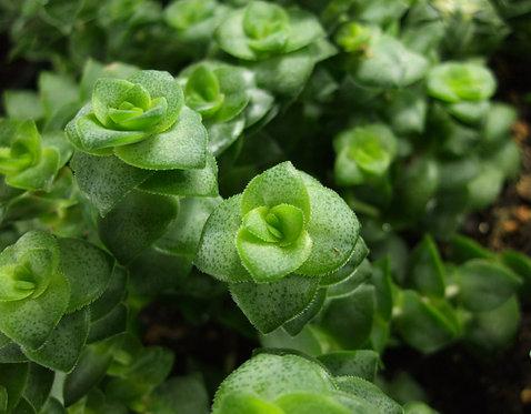 Succulent Plant, Crassula Conjuncta