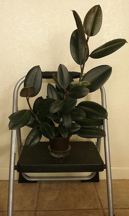 Indoor Plant | Rubber Tree