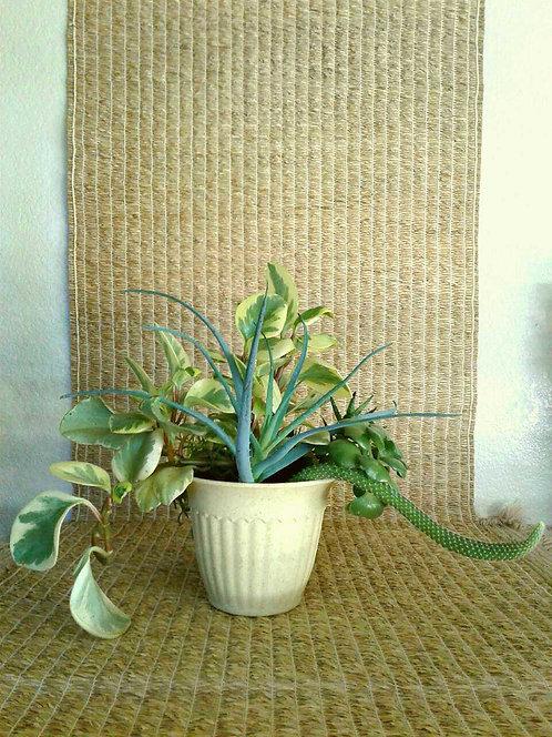 "Succulents in 7"" Light Yellow Bioplanter #1 | NW Phoenix"
