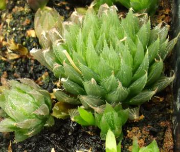 Succulent Plant, Haworthia Cooperi