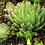 Thumbnail: Succulent Plant, Haworthia Cooperi