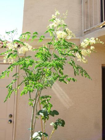 Moringa Tree Blossoming