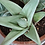 Succulent Plant, Gasteraloe 'Green Ghost' A (Top View)