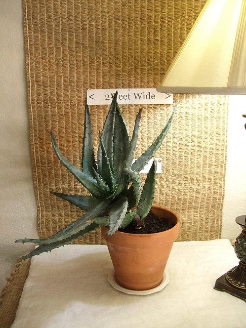 Succulent Plant, Aloe Aculeata Crousiana