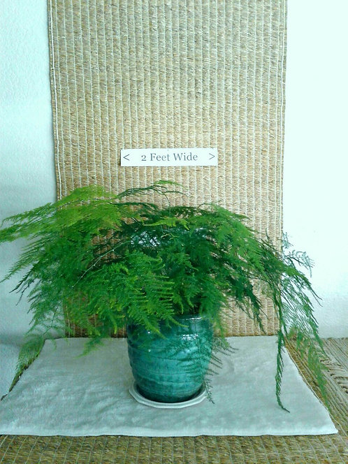 Asparagus / Plumosa / Lace Fern in Ceramic | Potted Plant