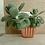 Thumbnail: Succulent Plant, Kalanchoe Thyrsiflora 'Flapjacks'