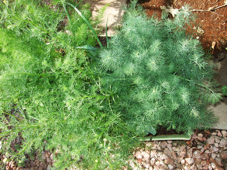 Dill, Chamomile, and Fennel