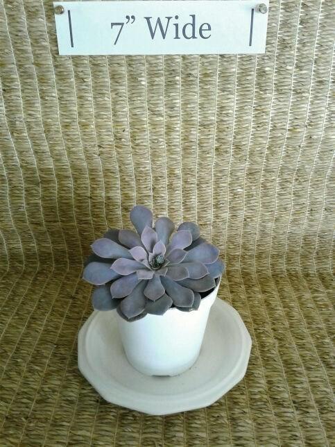 Succulent Plant, Echeveria Difractens (Lavender Color)