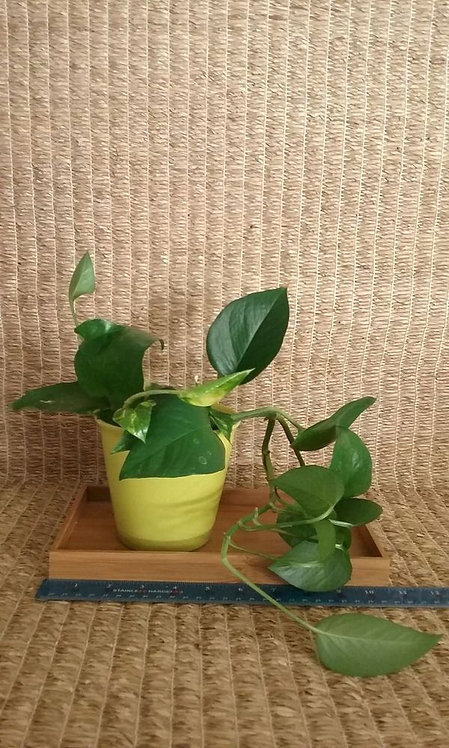 Indoor Plant | Pothos Ivy (and Philodendron?) #1 in Hole-Less Chartreuse Ceramic